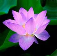 lotus-215460__180